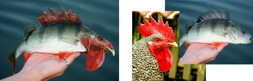 chickfish